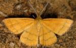 Cleta filacearia 48 1