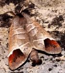 Clostera curtula (I)