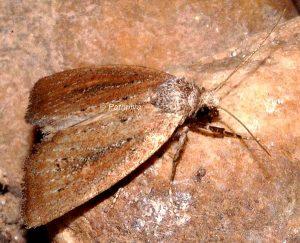 Coenobia rufa 1