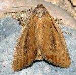 Coenobia rufa (I)