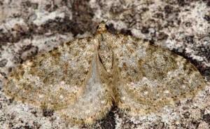 Coenotephria ablutaria 06 1