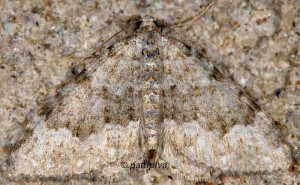 Coenotephria ablutaria 06 2