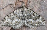 Coenotephria ablutaria 34 1