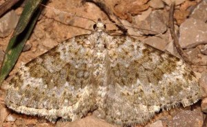Coenotephria ablutaria 34 3