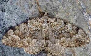 Coenotephria salicata 06 1