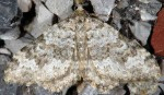 Coenotephria salicata 06 3