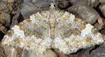 Coenotephria tophaceata 06 1