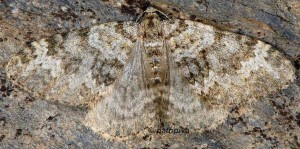 Coenotephria tophaceata 06 3