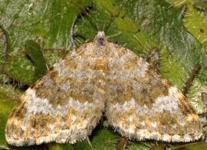 Coenotephria tophaceata 66 1