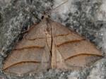 Colobochyla salicalis (I)