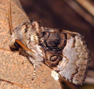Colocasia coryli 2