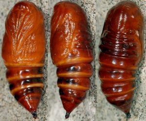 colocasia-coryli-chrysalide-06-1