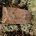 Conistra alicia (I, L5)