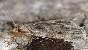 Corcyra cephalonica 34 2