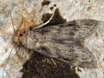 Corcyra cephalonica 34 3