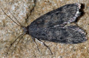 Corcyra cephalonica 84 1
