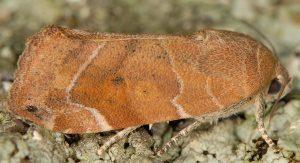 Cosmia affinis 3