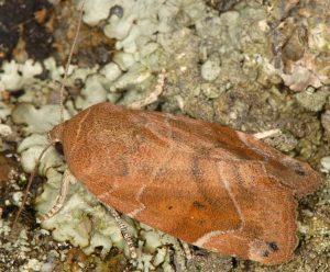 Cosmia affinis 4