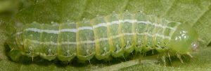 Cosmia affinis L4 1