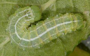 Cosmia affinis L4 2