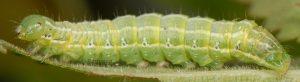 Cosmia affinis L5 1