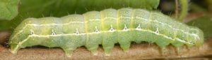 Cosmia affinis L5 2