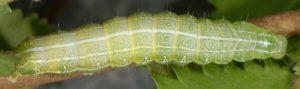 Cosmia affinis L5 3