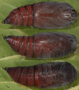 Cosmia affinis p