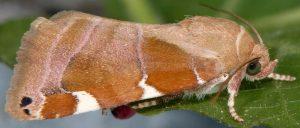 Cosmia diffinis 34 3