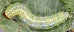 Cosmia diffinis L5 34 3