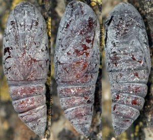 Cosmia diffinis chrysalide 34 1