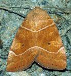 Cosmia trapezina (i, L5)