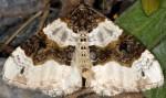 Cosmorhoe ocellata 38 1