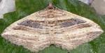 Costaconvexa polygrammata 34 1