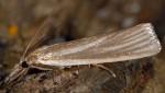 Crambus perlella 66 1