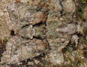 Cryphia ochsi 1