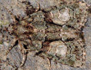 Cryphia pallida