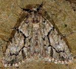 Cryphia simulatricula (I)