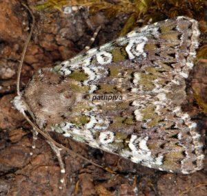 Crypsedra gemmea 06 1