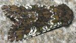Crypsedra gemmea (I)