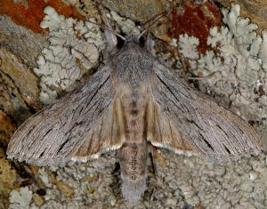 Cucullia campanulae
