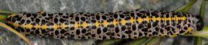 Cucullia campanulae L4