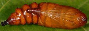 Cucullia campanulae p 1