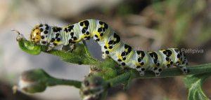 Cucullia caninae L4