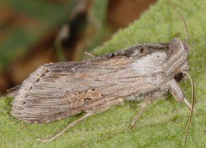 Cucullia cemenelensis 1