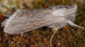 Cucullia cemenelensis 2