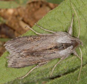 Cucullia cemenelensis 3