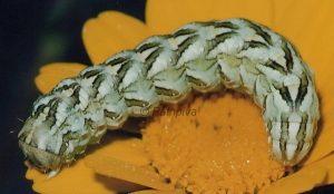 Cucullia chamomillae L5 2