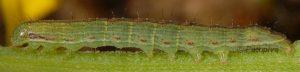 Cucullia gnaphalii L3 2