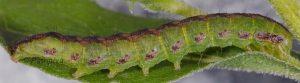 Cucullia gnaphalii L4 2